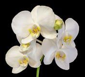 Белая орхидея ветви цветет с бутонами, орхидные, фаленопсисом известным как орхидея сумеречницы Стоковые Изображения RF