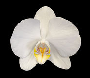Белая орхидея ветви цветет с бутонами, орхидные, фаленопсисом известным как орхидея сумеречницы Стоковая Фотография