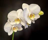 Белая орхидея ветви цветет с бутонами, орхидные, фаленопсисом известным как орхидея сумеречницы Стоковые Изображения