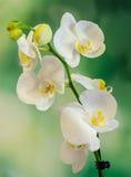 Белая орхидея ветви цветет с зелеными листьями, орхидные, фаленопсисом известным как орхидея сумеречницы, сокращенным Phal Стоковое Изображение RF