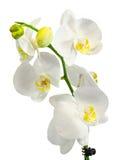 Белая орхидея ветви цветет с зелеными листьями, орхидные, фаленопсисом известным как орхидея сумеречницы, сокращенным Phal Стоковые Фото
