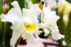 Белая орхидея в саде Стоковое Изображение