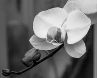 Белая орхидея в черной & белом Стоковая Фотография RF