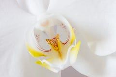 Белая орхидея на белой предпосылке Стоковые Фото