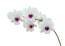 Белая орхидея на белом blackbackground стоковые изображения