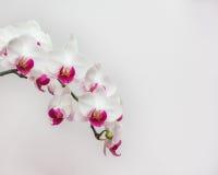 Белая орхидея на белом blackbackground Стоковое Фото