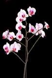 Белая орхидея на черной предпосылке Стоковая Фотография RF