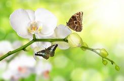 Белая орхидея с бабочками стоковые изображения