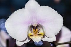 Белая орхидея с розовым касанием Стоковое Изображение RF