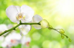 Белая орхидея стоковое фото