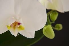 Белая орхидея Стоковые Изображения