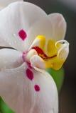 Белая орхидея Стоковые Фото