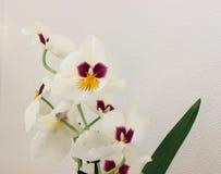 Белая орхидея Стоковые Фотографии RF