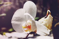 Белая орхидея Стоковая Фотография
