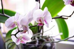 Белая орхидея Стоковые Изображения RF