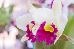 Белая орхидея Cattleya Стоковые Фото