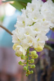 Белая орхидея gigantea Rhynchostylis Стоковая Фотография