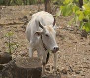 Белая отечественная корова Стоковое Фото