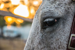 Белая лошадь во время захода солнца Стоковое фото RF