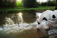 Белая лошадь выпивая на береге озера на заходе солнца Стоковые Фото
