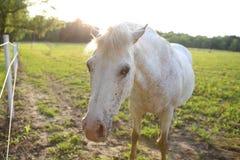 Белая лошадь в выгоне стоковая фотография rf