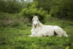 Белая лошадь в поле Стоковое Изображение RF