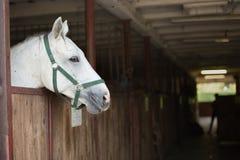 белая лошадь в стойле стоковое изображение
