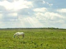 Белая лошадь в лужке Стоковое Изображение