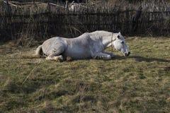 Белая лошадь лежит на траве Стоковые Фото