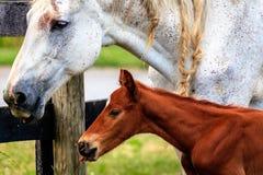 Белая лошадь и ее новичок Стоковая Фотография