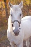 Белая лошадь идет среди деревьев Стоковые Изображения