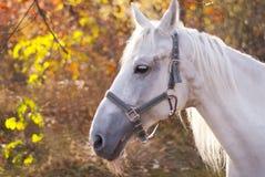 Белая лошадь идет среди деревьев Стоковая Фотография