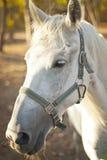 Белая лошадь идет среди деревьев Стоковые Фотографии RF