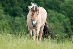 Белая лошадь идя вперед на выгон Стоковая Фотография