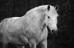 Белая лошадь идя к камере стоковые изображения rf