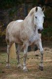 Белая лошадь идя к телу камеры полному стоковые изображения rf