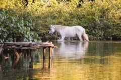 Белая лошадь купая на банках реки Стоковая Фотография