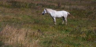 Белая лошадь на зеленом поле Стоковое Изображение