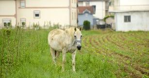 Белая лошадь на зеленых выгонах Стоковые Фотографии RF