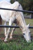 Белая лошадь достигая для еды Стоковое Изображение RF