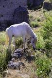 Белая лошадь пася в лужке Стоковая Фотография