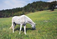 Белая лошадь пася Стоковое Изображение
