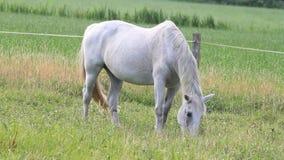Белая лошадь пася видеоматериал