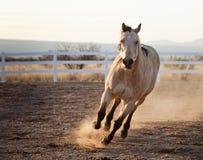 Белая лошадь пиная вверх пыль стоковое изображение rf