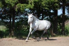Белая лошадь скакать на поле и усмехаться Стоковые Изображения