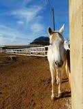 Белая лошадь стоя в конюшне Стоковая Фотография