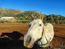 Белая лошадь стоя в поле и смотря камеру Стоковая Фотография