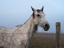 Белая лошадь стоя на paddock Стоковые Фотографии RF