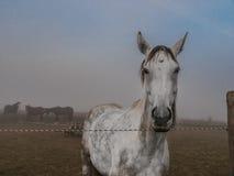 Белая лошадь стоя на paddock Стоковое фото RF