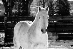 Белая лошадь Стоковое Изображение RF